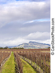 Winter grapevines NZ 03 - Bare vines in Hawke's Bay, New ...