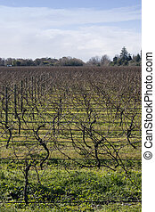 Winter grapevines NZ 05