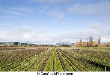 Winter grapevines NZ - Bare vines in Hawke's Bay, New ...