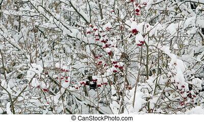 Winter guelder rose snow birds