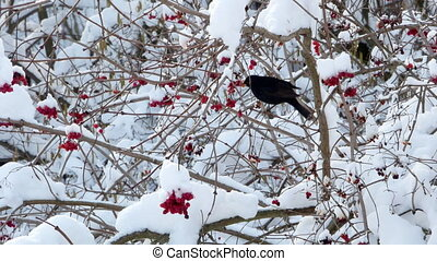 Winter guelder rose snow birds starling