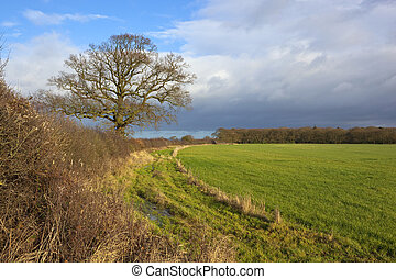 winter hedgerow - a winter hawthorn hedgerow with an oak...