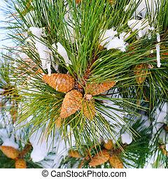 winter, hintergrund, mit, kiefer, cones.