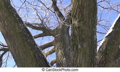 winter hoarfrost on oak