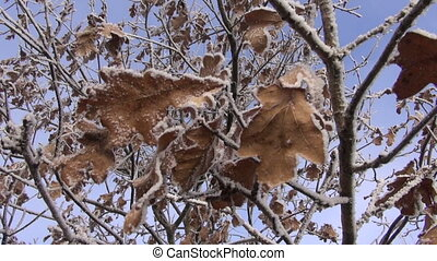 winter hoarfrost on oak tree - winter hoarfrost rime an dry...