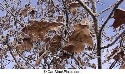 winter hoarfrost on oak tree - winter hoarfrost rime an dry...