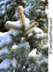 Winter holiday background with snowy pine tree branch