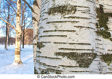 Winter in birch forest. Close up of the birch trunk