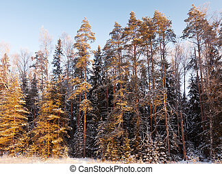 winter in pine forest