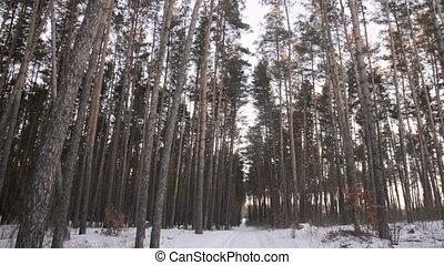 winter, kiefernwald