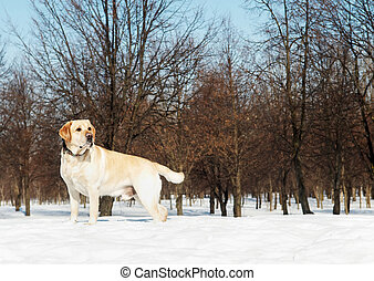 winter, labrador