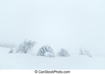 Fir trees in snow