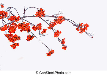 Frozen berries of red mountain ash.
