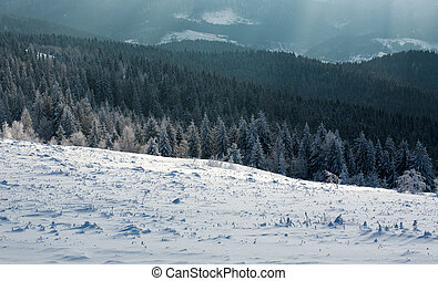 Winter landscape mountain pine forest in rays of the sun