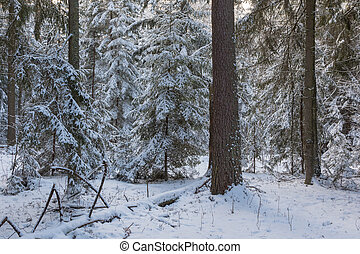 Winter landscape of coniferous stand in sunset