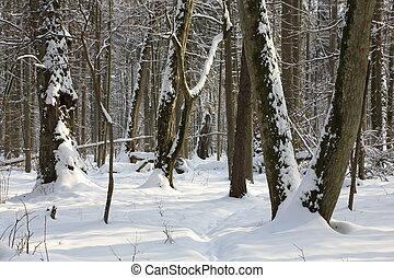 Winter landscape of deciduous stand