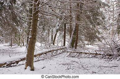 Winter landscape of natural forest with dead spruce trees