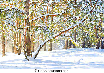 Winter landscape. Pine forest covered with snow
