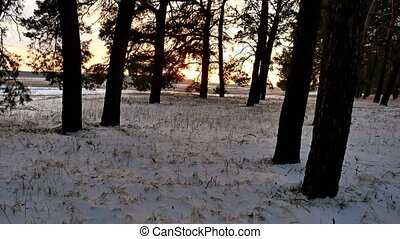 winter landscape sunset in the forest, fabulous pine forest, nature christmas tree