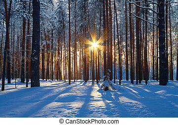winter landscape with a coniferous forest in beams of the sunset