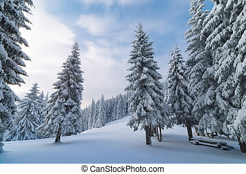 Winter landscape with fir trees in the mountain forest