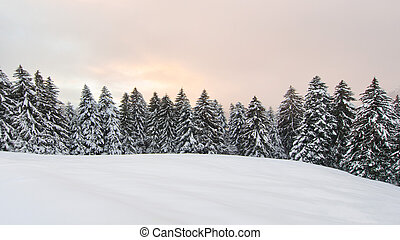 Winter landscape with lots of snow and snowy pines
