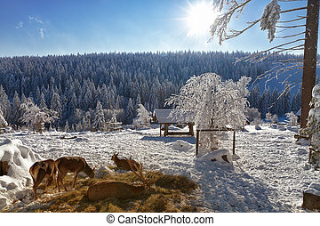 Winter landscape with red deers in Black Forest,...