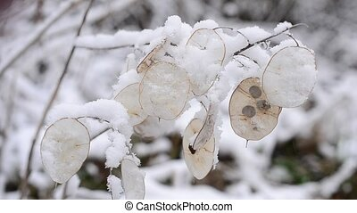Winter landscape with snow falling on beautiful lunaria seedpods