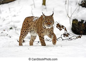 winter Lynx - Wild Lynx in the winter forest