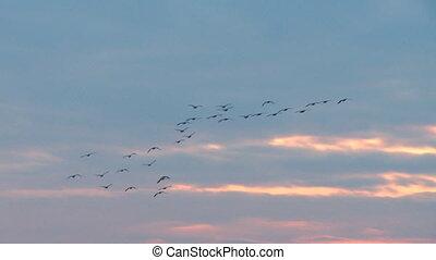 winter, migratie, op, ondergaande zon , 1