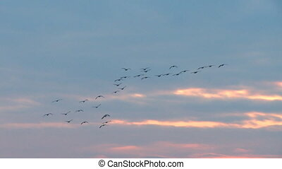 Winter Migration at Sunset 1 - Geese making a stop over...