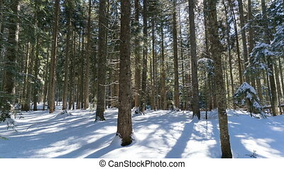 winter morning in a spruce forest, time lapse