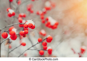 winter mountain ash in the forest in the snow macro filming . winter berry.