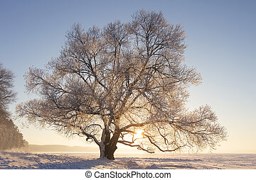 Winter nature landscape in bright sunlight. Frosty tree with hoarfrost on branches on snowy meadow at sunset. Sunny winter evening. Christmas background. Vivid sun shining through tree.