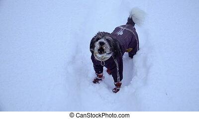 winter., neige, tout, chien