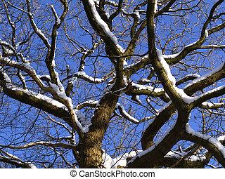 winter oak branches - detail of an old oak in winter