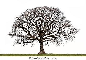 Winter Oak - Oak tree in a field in winter devoid of leaves...