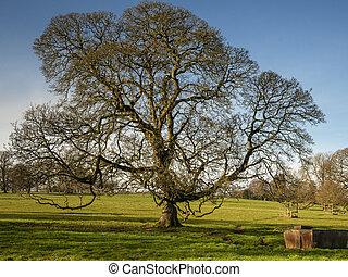 Winter oak tree in a Yorkshire park, England