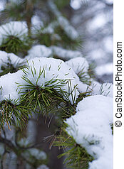 Winter pine branch in snow
