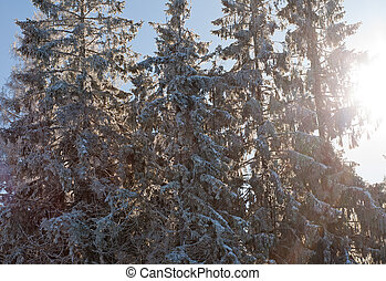 Winter pine forest background in sunlight beauty nature