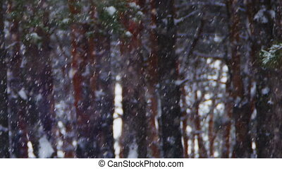 Winter Pine Forest Background with Snowfall - Snow And Pine...