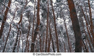 Winter Pine Forest. Flying through the Pillars of Trees...