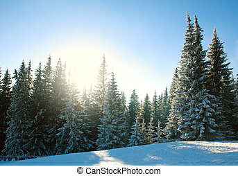 Winter pine forest in snow at sunrise in blue sky
