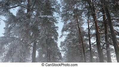 winter pine forest in the fog.