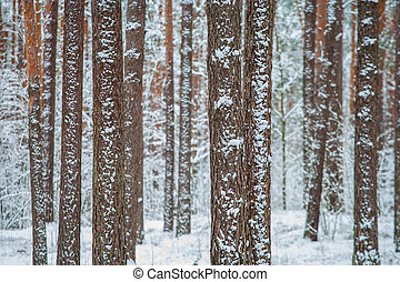 Winter pine forest in the snow, white, cold..