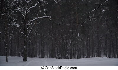 Winter. Pine forest in winter