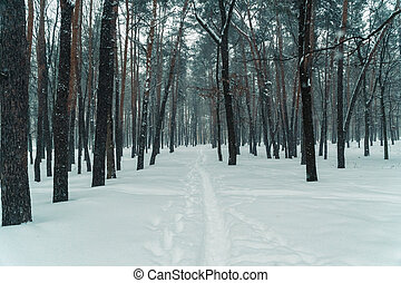 Winter. Pine forest in winter
