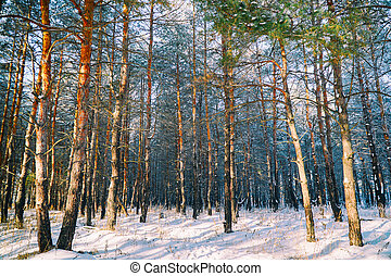 Pine trunks in the winter forest
