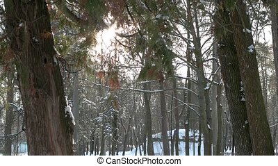 Winter, pine forest. Trees and sun.