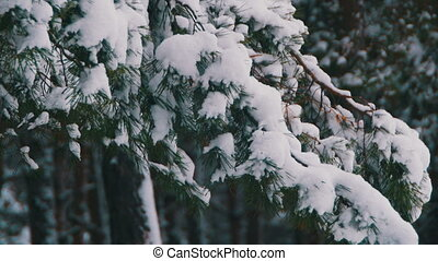 Winter Pine Forest with Snowy Christmas Trees. Snow falling...